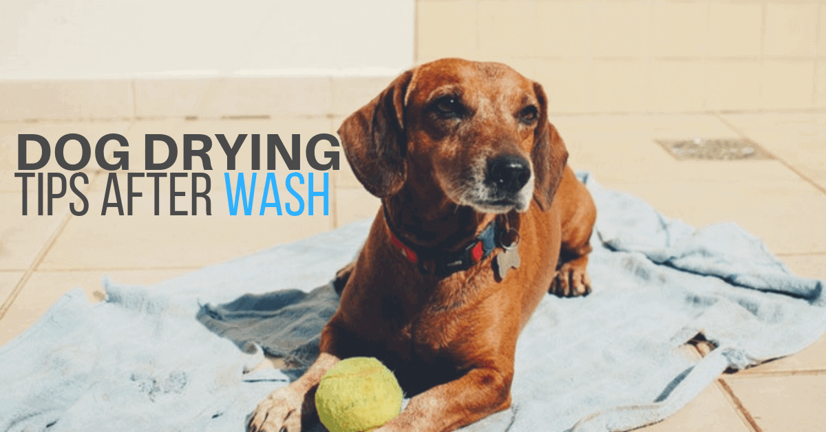 dog drying||Drying Tips After Wash
