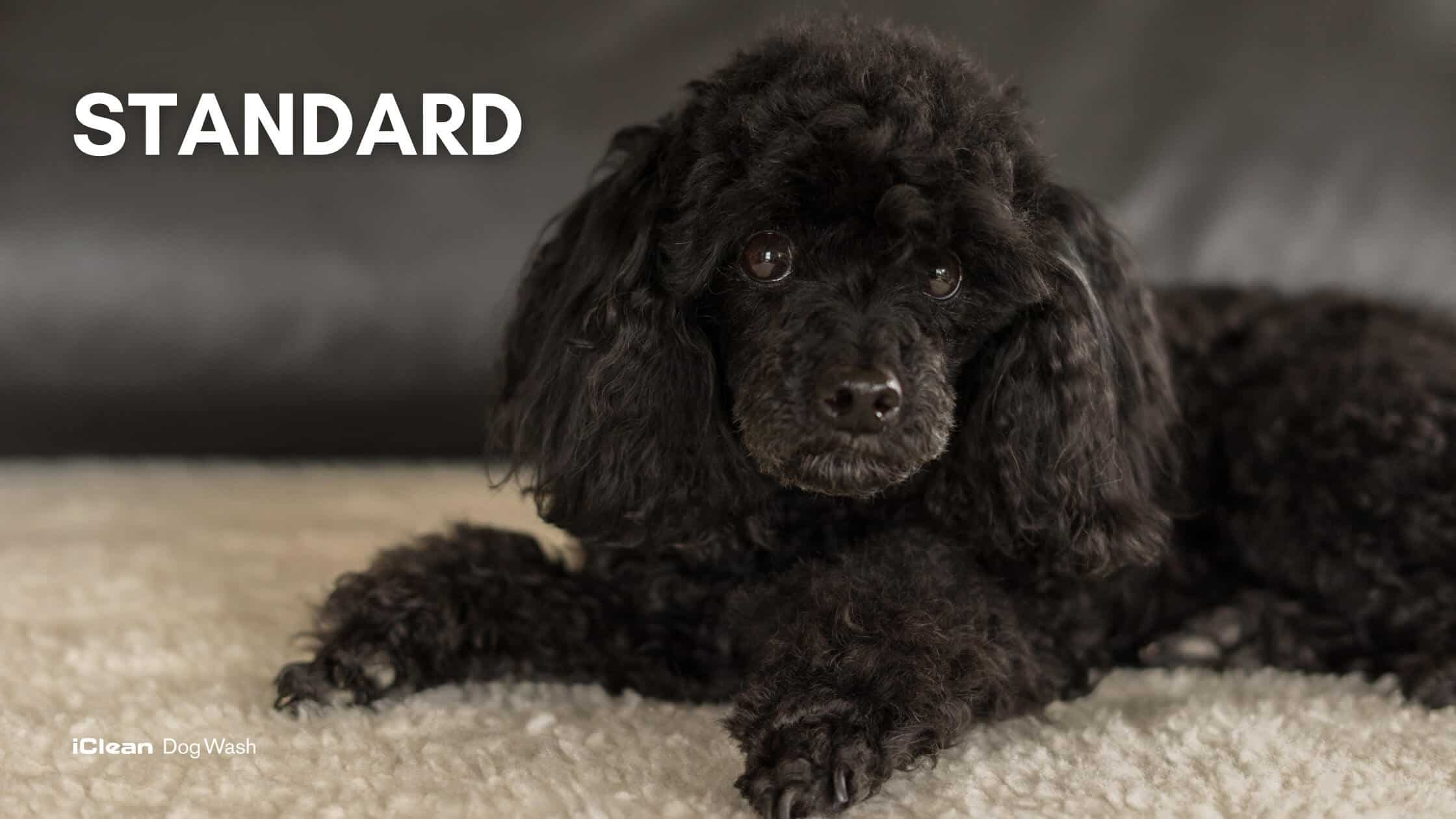 Types of poodles | Variety of poodles | The poodle breed ...