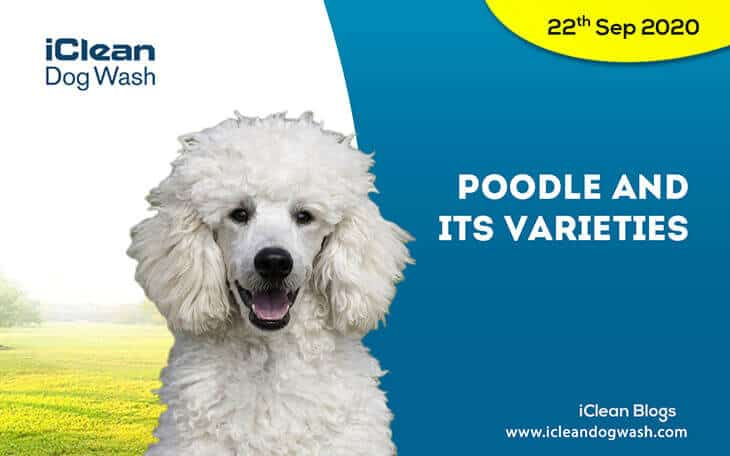 Poodle and its varieties
