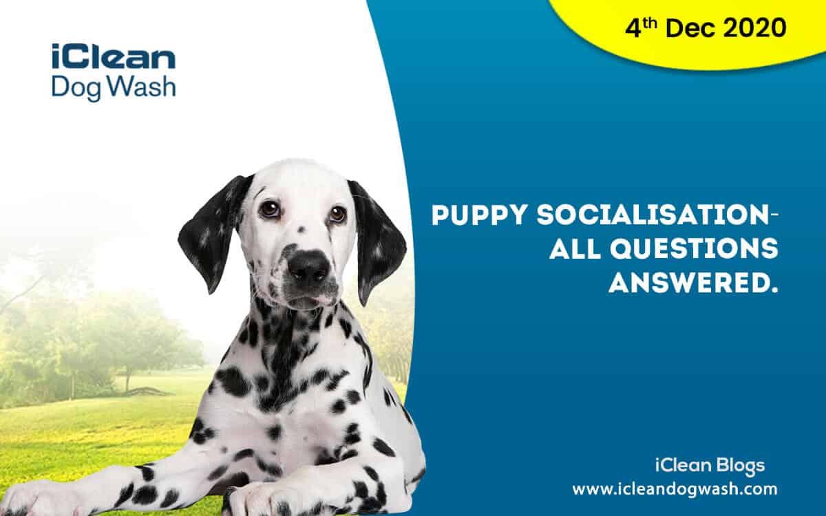 Puppy Socialisation- all questions answered.